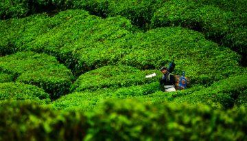 Cameron Highlands, Malaysia, Asia