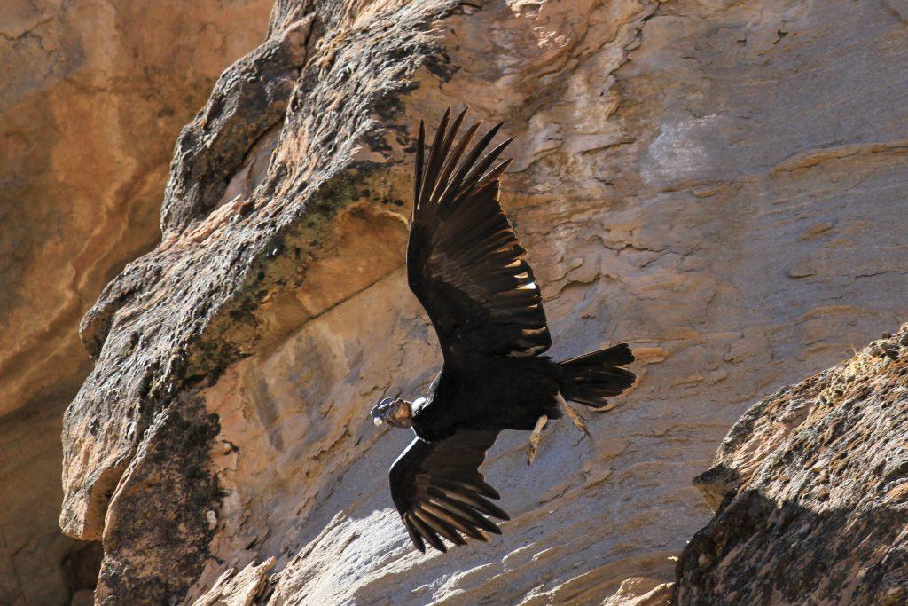 Condors Cross, Colca Canyon, Peru, South America